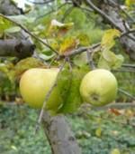 Äpfel im Herbst