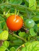 Wie pikiert man Tomaten?