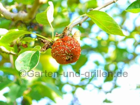 Foto: Apfel fault am Baum