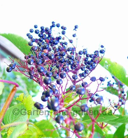 Foto: Holunder im Garten