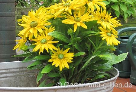 Foto: Pflanze in Zinkwanne