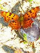 Schmetterling auf Pflaume