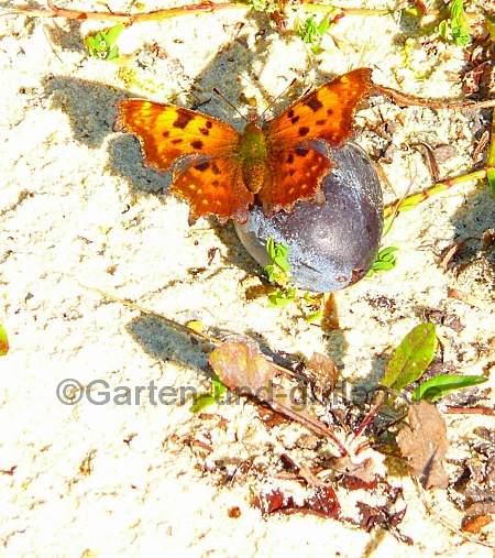Foto: Schmetterling auf einer Pflaume im Garten